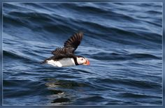 Puffin  (Better than we saw on a cruise out of Bar Harbor, ME)