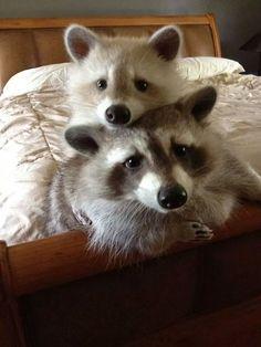 I want pet raccoons >_>