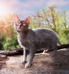 Home | Lykoi Cats ~ The Original Lykoi Breeder