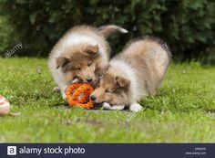 longhaired-collie-puppies-ERK97G.jpg (1300×955)