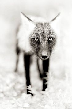 Stunning photo of a fox. Lighting/depth of field!