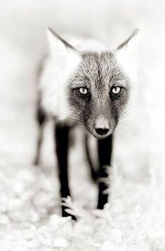 Stunning photo of a fox. Lighting/depth of field!