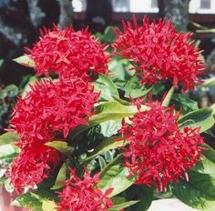 Faya Lobi is the most famous Surinamese flower.  It is called the flower of love, because the name, translated, means ardent love. (V)
