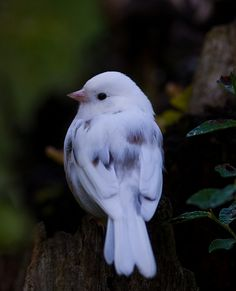 Leucistic Dark-eyed Junco <3