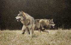 #loups #européens #animalcontact  #wolfpack #wolves #gris  #wild #lycos #animaux #sauvage #leto #hades