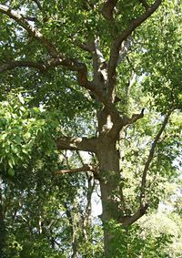 Chinkapin Oak, medium to large shade tree (50-90' tall and 20-40' wide).  Likes full sun and well-drained soil.  Would be good to shade from the west, especially the master bedroom/garage area.  Moderate to fast growing.