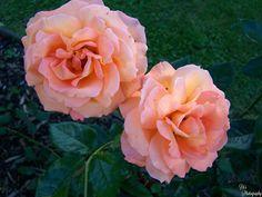 https://flic.kr/p/JrZPCa | Roses