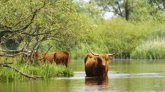 Afbeeldingsresultaat voor biesbosch Cow, Animals, Animales, Animaux, Animal, Animais