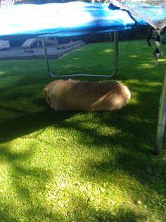 """""""Tjango heefy schaduw-plekje gevonden : onder de trampoline! (-:"""""""