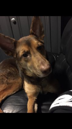 Lost Dog - German Shepherd in ELMONT, NY ShareFacebook Twitter Google+ Email     	 Pet Name:	Sam   (ID# 124609) Gender:	Female Breed:	German Shepherd Breed 2:	Mixed Breed Color:	Brown Color 2:	Black Pet Size:	Medium (20-39lbs) Pet Age:	3 years Date Lost:	02/28/2016 Zip Code:	11003 (ELMONT, NY) See All Lost Dogs In ELMONT, NY