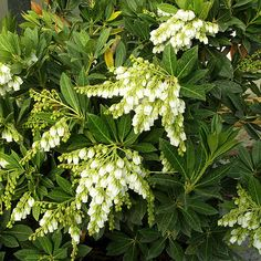 "Southern Lady Andromeda  ""Featuring better heat- and disease-tolerance than your average andromeda, Southern Lady is a brand-new belle for the garden. It features clusters of fragrant white flowers in early spring...""  New Trees  Shrubs for 2013"