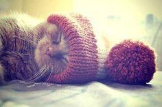 "wasbella102: "" Cat in the Hat taking a nap :) lol "" Ça c'est le Pompon!…"