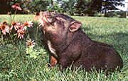 Pig O My Heart Potbellies - potbelly pig, potbellied pig, pet pig, pig, pot-belly pig