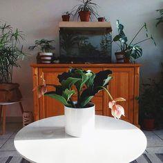 Medinilla, rustic dresser, terrarium Rustic Dresser, Terrarium, Table, Furniture, Home Decor, Terrariums, Room Decor, Home Interior Design, Desk