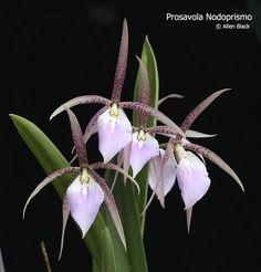 Prosavola Nodoprismo (Brassavola nodosa X Prosthechea prismocarpa)