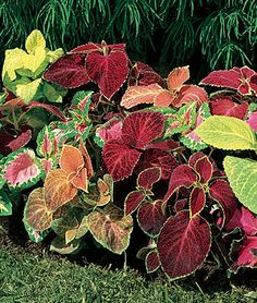 Growing coleus plants and flowers from seeds - Learn how to grow coleus seeds to full sized plants in your home flower garden. Find info on Coleus plants (Coleus blumei), a tender tropical plants grown for their beautiful leaves. Outdoor Plants, Outdoor Gardens, Shade Garden, Garden Plants, Trees To Plant, Plant Leaves, Pot Plante, Annual Flowers, Tropical Plants