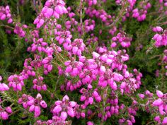 Bell Heather C. D. Eason Erica Cinerea After the blossoms have faded a light shearing will remove most of the faded flowers and promote dense growth. Evergreen. I love love love these!