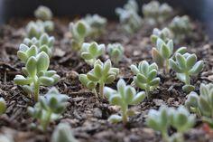 Bébé Succulentes: Propager Succulent via Needles + Leaves.  Apprenez à propager les plantes grasses à partir de feuilles et de boutures.