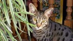 Date Listed 29-Jun-13 Address Calgary, AB T3A 2R8, Canada  View map Still looking for a spotted savannah cat. Very special breed. Was lost in June in edgemont. Is dearly missed and loved. He has city tags and a microchip. He had a green collar on at the time. He is very special to me and feel lost without him. I am hoping someone has him and will return. Reward given for his safe return. Any info please text or call 4038091665!!!!!