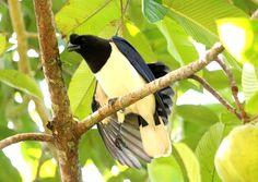 Foto gralha-do-campo (Cyanocorax cristatellus) por Leonardo Casadei | Wiki Aves - A Enciclopédia das Aves do Brasil