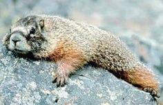 La Marmota Caracteristicas Donde Vive Que Come Reproduccion