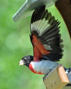 Beautiful underwing pattern of the male Rose-breasted Grosbeak