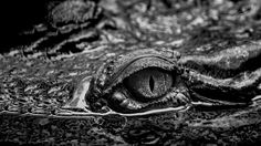 https://flic.kr/p/JhHmTq | Nilkrokodil - Auf der Lauer... | Follow me: FACEBOOK  Das Nilkrokodil (Crocodylus niloticus) ist eine Art der Krokodile (Crocodylia) aus der Familie der Echten Krokodile (Crocodylidae). Die normalerweise 3–4 m lang werdende Art bewohnt Gewässer in ganz Afrika und ernährt sich größtenteils von Fischen. Gelegentlich können Nilkrokodile jedoch auch große Säugetiere (z. B. Zebras) unter Wasser zerren und ertränken. Das Nilkrokodil betreibt intensive Brutpflege, die…