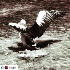 Natural #beauty on the #barwonriver  .....takeoff  #Repost @vilup1 with @repostapp  #pelican #bnw #myfavouritebird  #aguideto #aguidetooceangrove #oceangrovecafes  #smallbusiness #shoplocal #livelovelocal  #photography #ocean #beach #surf  #oceangrove #barwonheads #bellarine #bellarinepeninsula #gtown #geelong #melbourne #visitvictoria #visitgeelongbellarine #tourismgeelong #australia #seeaustralia #melbournetouristguide by a_guide_to_oceangrove http://ift.tt/1JO3Y6G