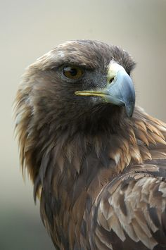 Golden eagle of Prey Raptor Bird Of Prey, Birds Of Prey, Owl Bird, Pet Birds, Beautiful Birds, Animals Beautiful, Golden Eagle, Tier Fotos, Mundo Animal