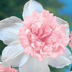 """Petit Four Daffodil  Height/Habit 18-20"""" Spread 4 - 6"""" Planting Instructions 6"""" deep and 4 - 6"""" apart"""