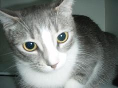 Date Found:Jun 25, 2013  Found Location: (37 AVE & 45 ST) Red Deer, Alberta, Canada Found Notes:DSH GREY/WHITE CAT FOUND ON 45ST AND 37 AVE RED DEER ON JUNE 24/13 @ 17:00. BROUGHT INTO FACILITY ON JUNE 25/13 @ 1:04PM. UNABLE TO CHECK FOR IDENTIFICATION OR SEX. WT: UNKNOWN. If You Have Lost This Pet Contact:  Alberta Animal Services Alberta Animal Services Email: info@albertaanimalservices.ca Phone: 1 (866) 340-2388 Shelter Reference #: 30016