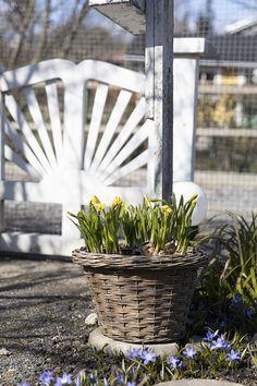 Oravankesäpesä | Tetenarsissi | Narcissus 'Tête-à-Tête' Plants, Instagram, Flora, Plant, Planting