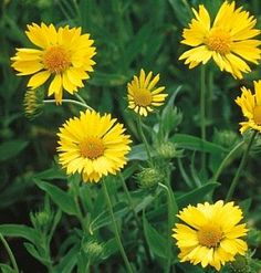"""Gaillardia 'Yellow Queen' - """"2-3' tall plants are perfect for cut flowers, containers and a full sun garden"""""""