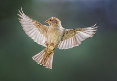 Photo Story: Birds in Flight Photography – Female House Sparrow | Martin Belan