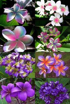 """""""SET 8 CUTTING"""" FRAGRANT PLUMERIA 7-12"""" HAVE ROOTED WITH CER. EASY TO PLANT #BIGSAVE8VARIETYTYPE"""
