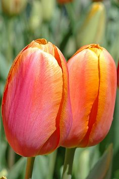 Tulip Pair | Flickr - Photo Sharing!