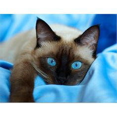 Siamese Kittens Diy Diamond Embroidery Blue Eye Cat Painting Cross Stitch Kits Home Decor - I Love Cats, Cute Cats, Funny Cats, Adorable Kittens, Siamese Kittens, Cats And Kittens, Bengal Cats, Kitty Cats, Dog Cat