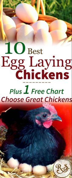 What are the best egg laying chickens? Which breeds should you consider when choosing your flock? Learn which chickens are going to lay the most and get your flock started on the right foot! Best Laying Hens, Best Egg Laying Chickens, Raising Backyard Chickens, Keeping Chickens, Baby Chickens, Chicken Incubator, Chicken Eggs, Chicken Life, Chicken Breeds For Eggs