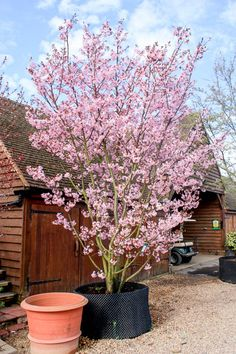 Prunus sargentii 'Rancho' This American cultivar is much like the species but is smaller in size and has an upright, vase-shaped crown. Leaves emerge coppery-brown, turning green in summer. The autumn colours are a most pleasing fiery red and orange. In mid-April pink flowers cover the tree, sometimes followed by glossy orange, red, and purple-black fruit. Hardy.