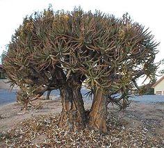 "Aloe ramosissima ""Maiden's Quiver Tree"""