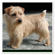 Norfolk terriers are so cute! i want!!!
