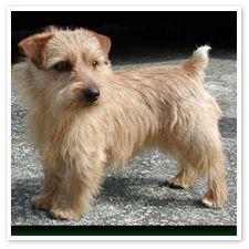 Norfolk terriers are so cute!