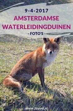 Op 9 april 2017 maakte ik een wandeling in de Amsterdamse Waterleidingduinen. Vanaf de ingang Panneland en ging op zoek naar vossen. Ik heb deze dag voor het eerst van mijn leven een vos gespot en genoot van de schitterende natuur. Kijk je mee wat ik allemaal zag? #awd #amsterdamsewaterleidingduinen #vos #wandelen #hiken #natuur #jtravel #jtravelblog #fotos