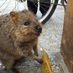 Quokka #quokka #rottnest #rottnestisland #rotto #perth #wa #westernaustralia #australia by marcel.baden http://ift.tt/1L5GqLp