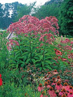 Joe-Pye Weed This statuesque plant adds strong architectural interest to your flower border and attracts butterflies by the dozen. Because perennial foliage usually declines after the plants bloom, choosing a late-season bloomer such as Joe-Pye weed ensures you have lush, beautiful foliage all season long. The variety called 'Gateway,' shown, reaches up to six feet in height.
