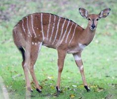 Small African Antelope Related Keywords & Suggestions - Small ...