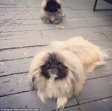 littlest pet shop pekingese puppy - Google Search Pekingese Puppies, Dogs And Puppies, Tiny Monkey, Chinese Mythology, Fu Dog, Buddhist Art, Dogs Of The World, Zoo Animals, Pet Shop