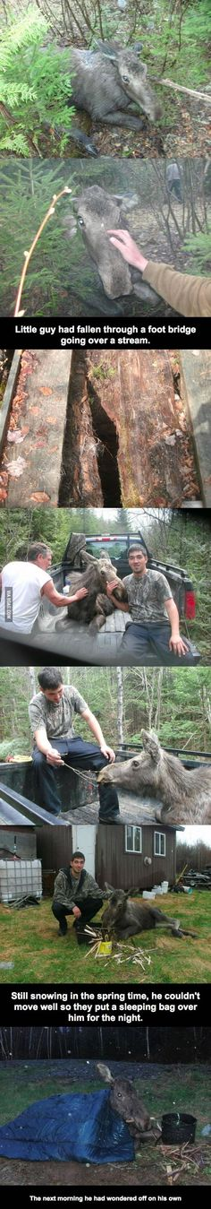 This guy saved a moose yearling