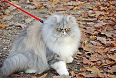 Meet fluffy TamaraH on yummypets.com #persian #cat