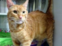 12 / 11  Petango.com – Meet Kelly, a 5 years 1 month Domestic Shorthair / Mix available for adoption in MISSION, KS